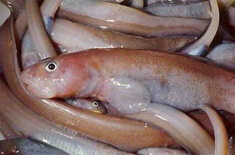 Gosztonyia antarctica, the newly discovered fish